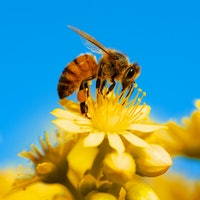 Junkie Bees Think Caffeinated Nectar Is Great, Even When It's Not