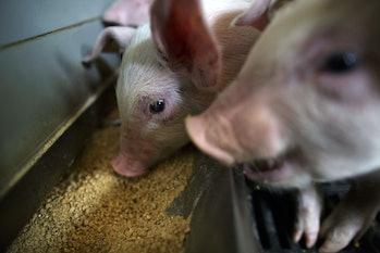 pig eating feed farm