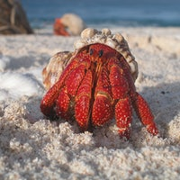 "Warring Hermit Crabs Show ""Evolution of Fighting"" Isn't All About Strength"