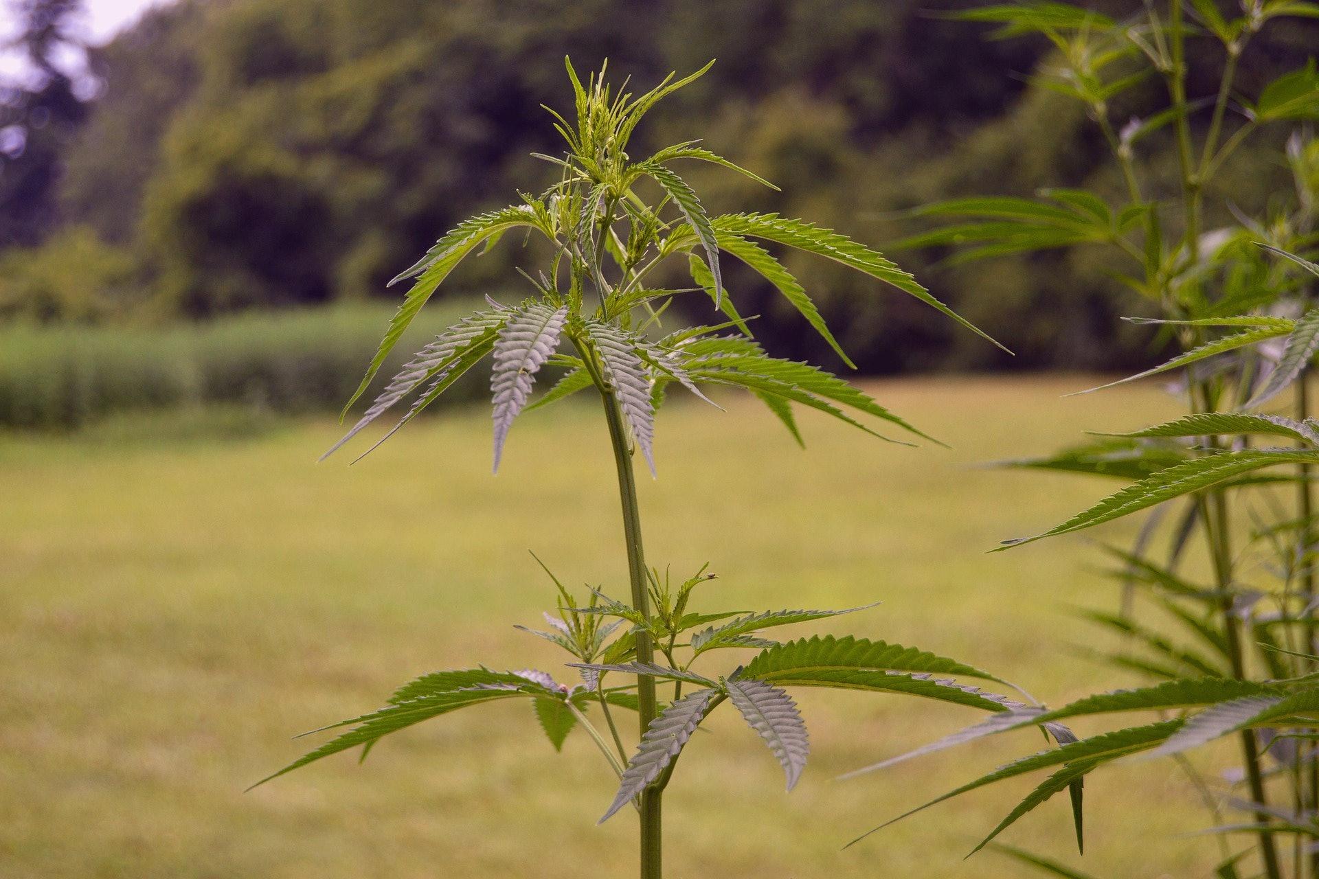 cannabis farms