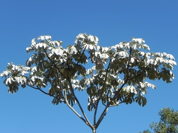 Cecropia trees