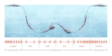 blue whale ECG chart