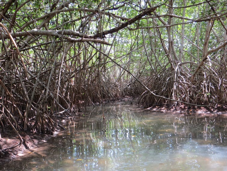 Saltwater mangrove forest along the coast of the Biosphere Reserve in Sian Ka'an, Mexico.