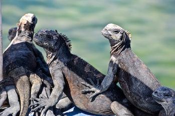 iguanas sunning