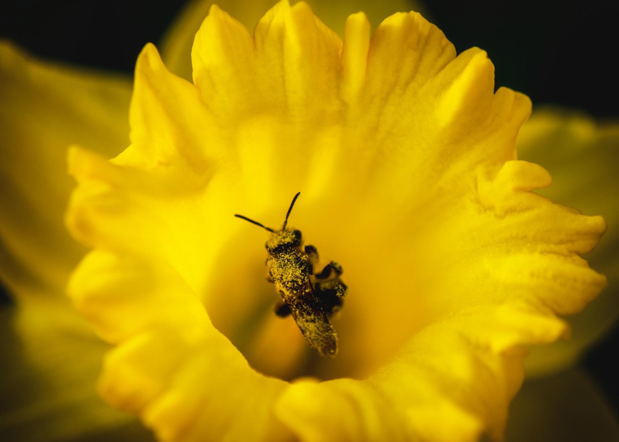Bee Kind to Daffodils