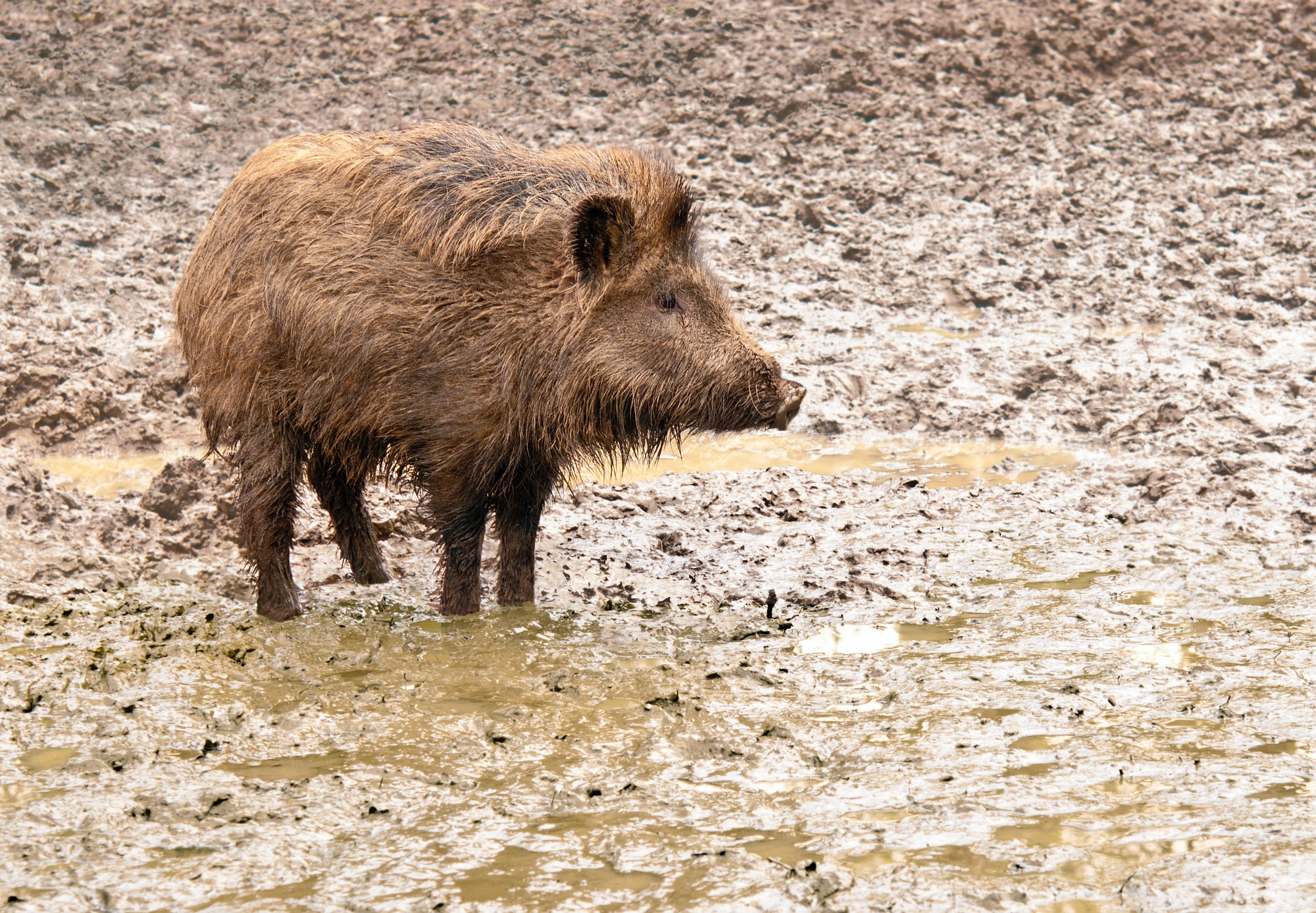 A young wild boar in his environment
