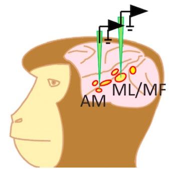 rhesus macaque brain