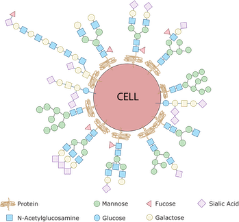 """Every single cell in the human body is covered with a collection of glycans which are assembled using various simple sugars like glucose, mannose, galactose, sialic acid, glucosamine and frucose as building blocks. By sensing the type of sugar coat present, our immune cells can identify other cells as friend or foe. This is because bacteria have sugars on their surfaces that are never seen on human cells – the pathogen's sugars are sensed by the immune system and that identifies the bacteria as """"foreign."""""""