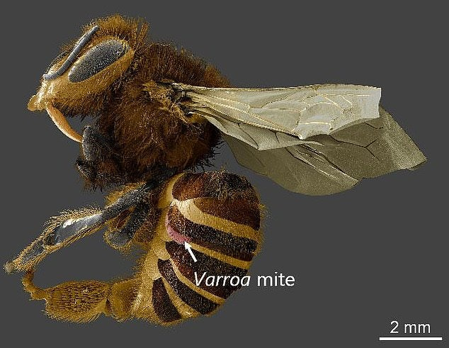 Thislow-temperature scanning electron microscope image shows a Varroa destructor mite attached to a honeybee.