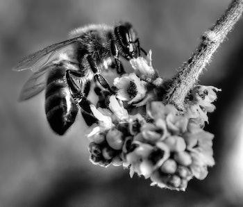 mad honey,mad honey nepal,hallucinogenic honey
