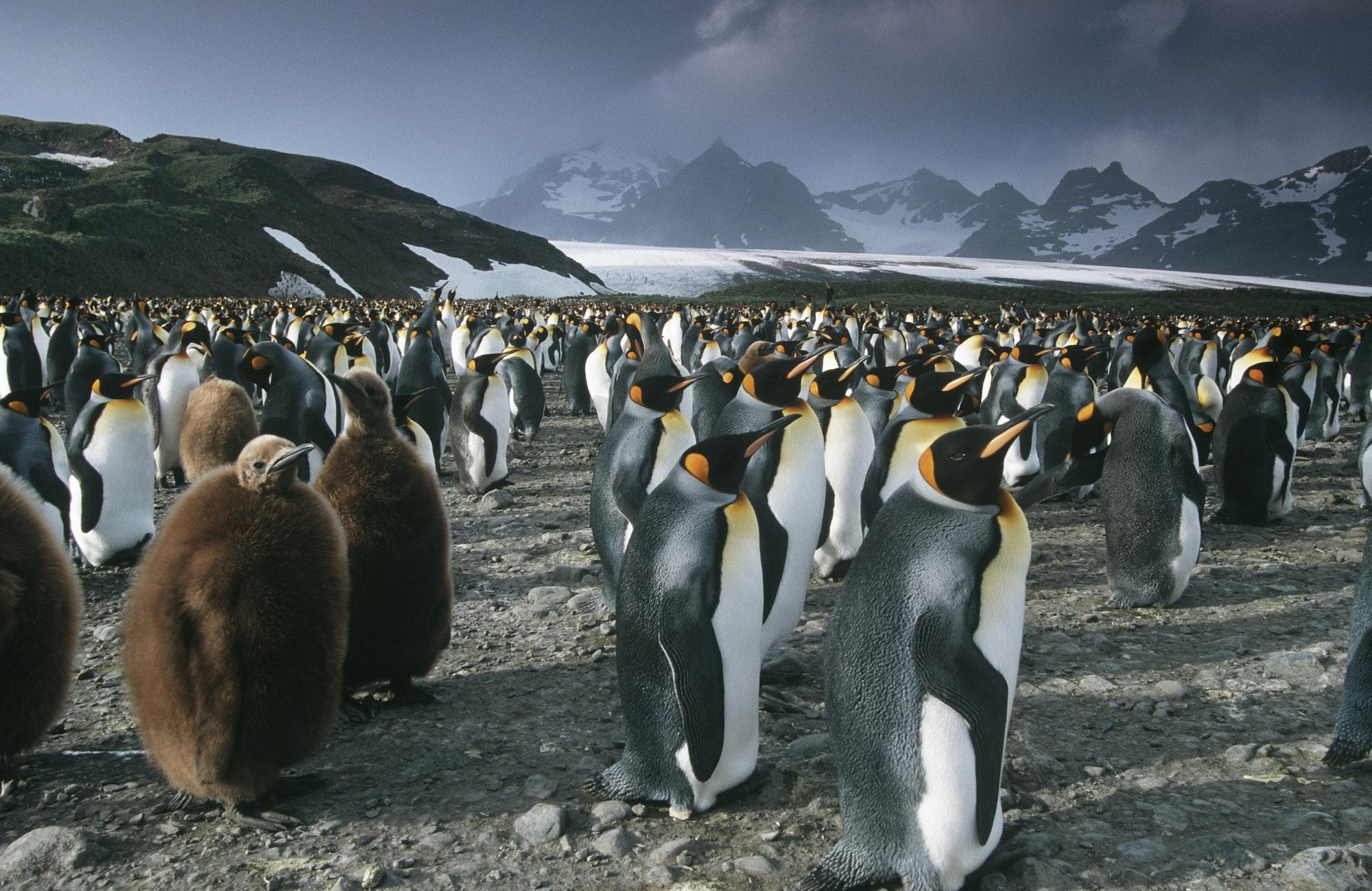 colony of penguins onSouth Georgia Island