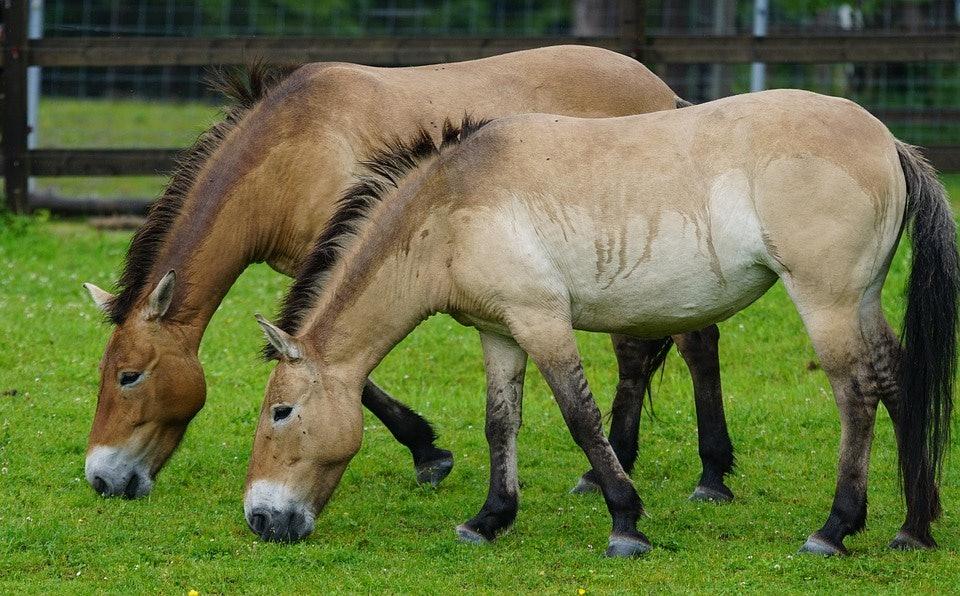 Przewalski's horses
