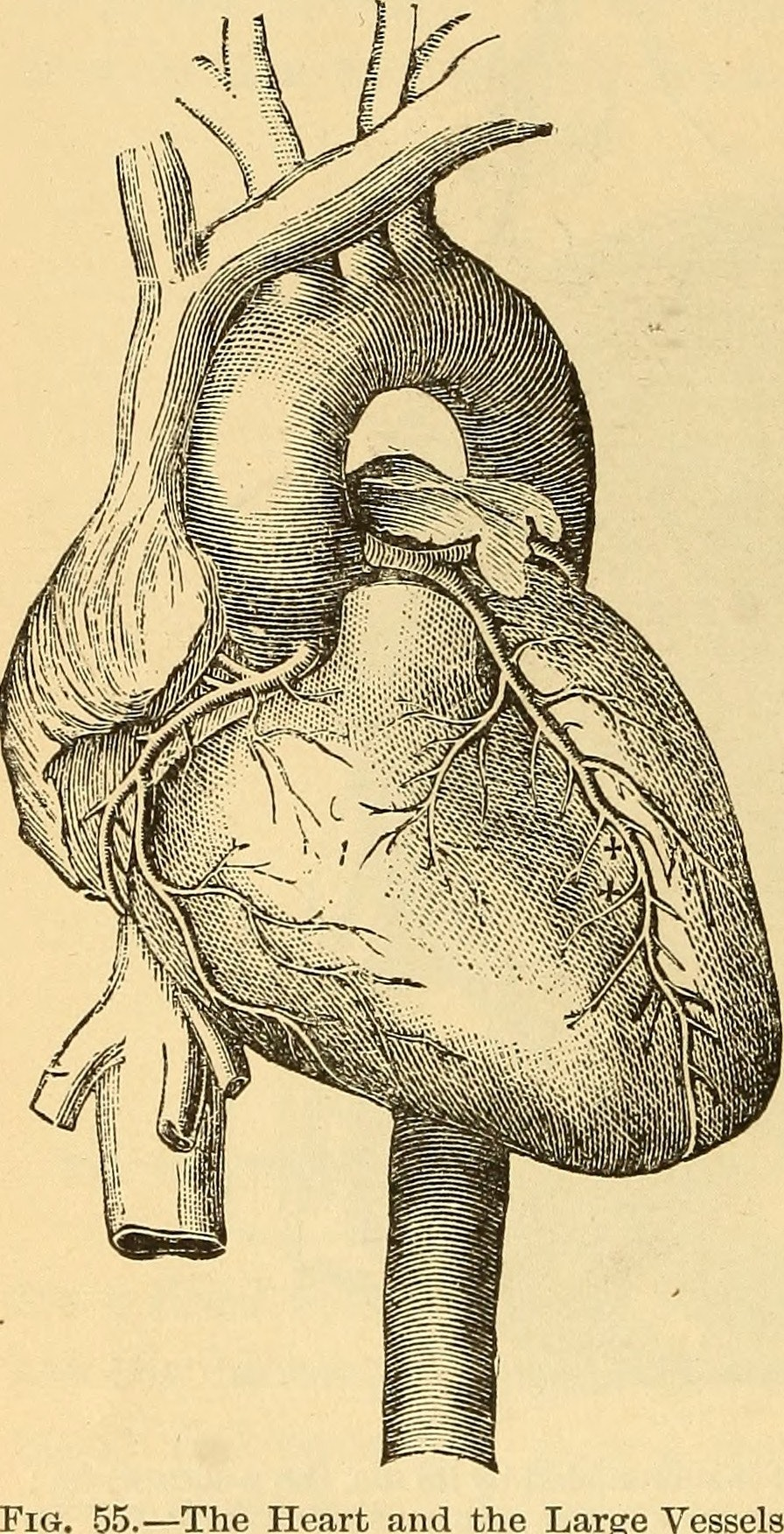 """Image from page 115 of """"Anatomy, physiology and hygiene"""" (1890)"""
