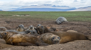 Female elephant seals basking, with a tagged seal in the background.