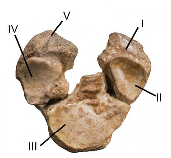 The bottom of this fossilized Mesohippus forelimb shows five different textures, suggesting remnants...