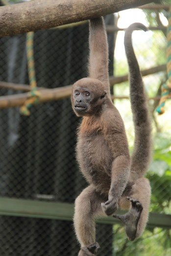 A Colombian woolly monkey in captivity.