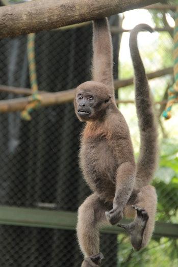 A Colombian woolly monkey in captivity.