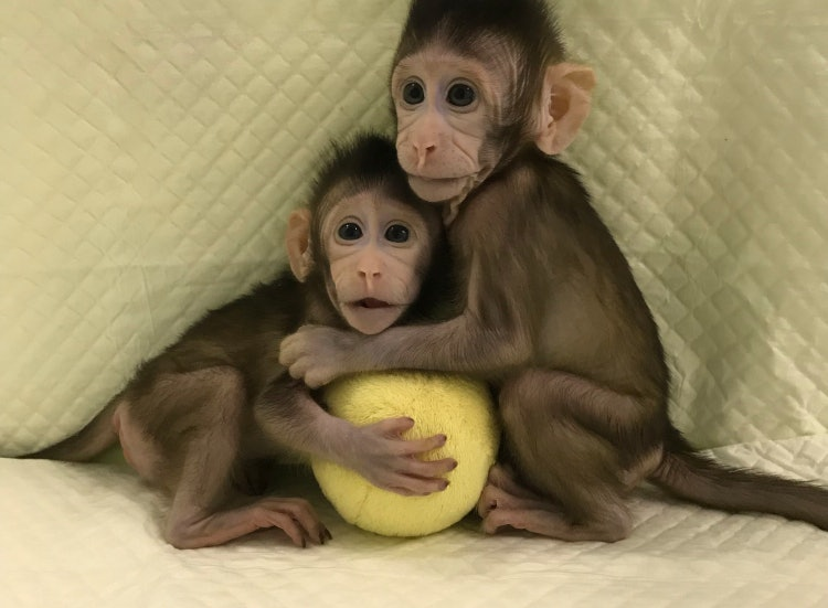 cloned monkeys