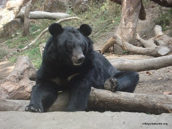 Despite their large size (100-150kg), these Asian (also Himalayan) Black Bears are arboreal, i.e. they like to live in trees. They spend about half their life in trees, with only a few old chubby ones becoming too heavy to climb them! Find out about many different animals atwww.crazycreatures.org