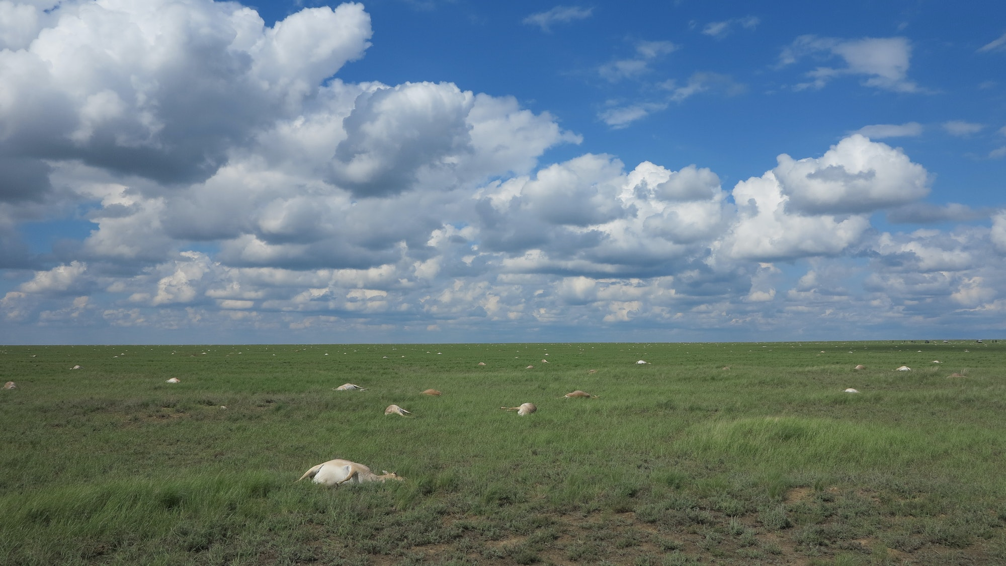 Over three weeks in 2015, over 60 percent of the Earth's saiga antelopes died from a bacterial infection.