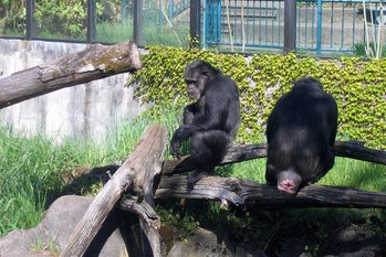 Zoo 03 - Chimp Butt