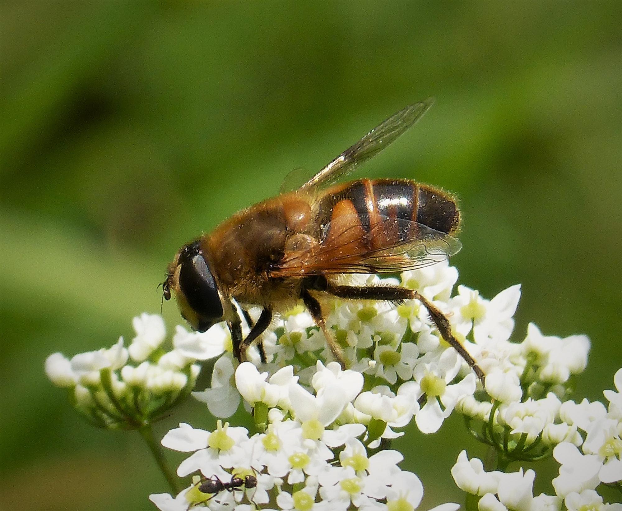 Hoverfly Eristalis tenax