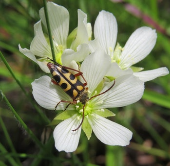 Longhorn beetles pollinate Venus flytraps, but they don't get eaten.