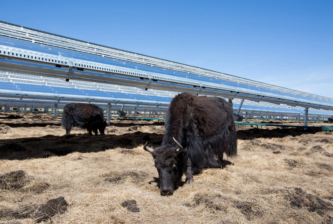 Elevated solar panels mean the yaks in China can continue eating the hay.