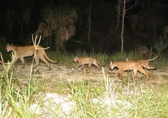 A North American cougar and three cubs in Florida.