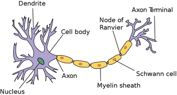 A nerve cell diagram.