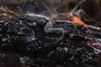 Amazon, frog