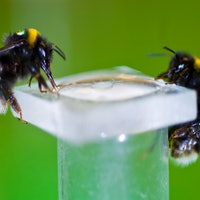 Bees Become Addicts After Sucking Nicotine-Laced Nectar