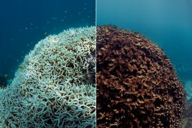 A before and after image of coral bleaching and later dying in March / May 2016, at Lizard Island on the Great Barrier Reef, captured by The Ocean Agency / XL Catlin Seaview Survey / Richard Vevers & Christophe Bailhache.