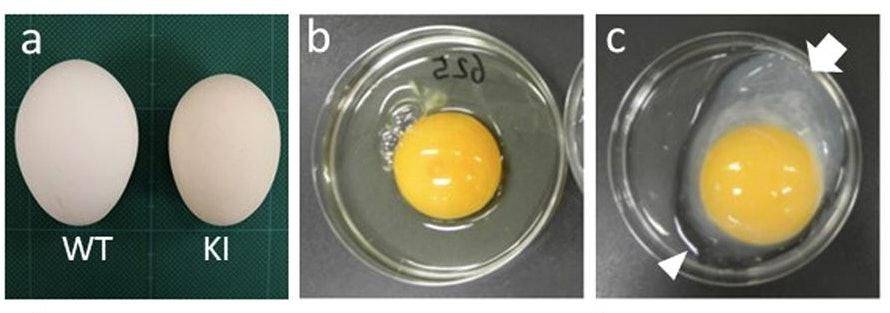 golden egg interferon beta