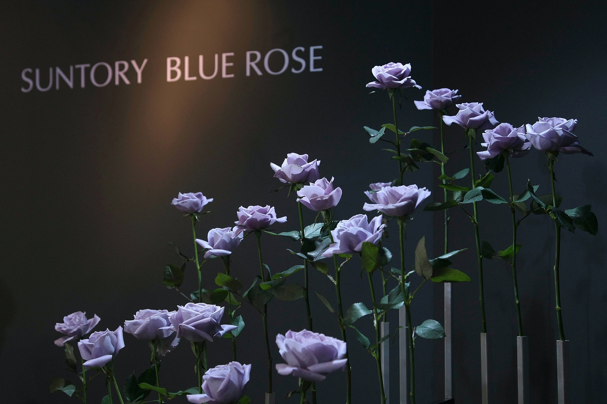 blue rose purple rose suntory brewing company roses
