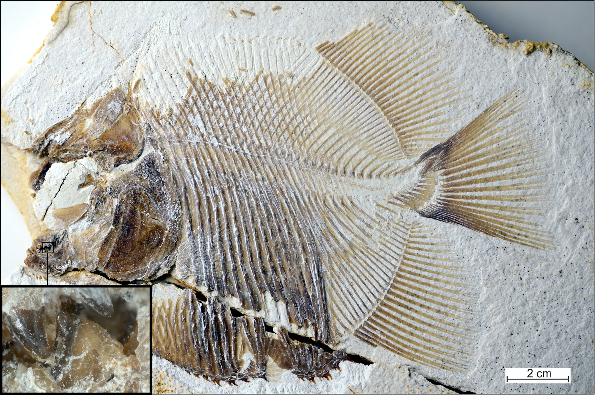 ancient fish