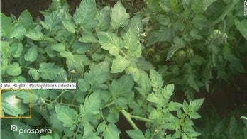tomato plant late blight phytophthora infestans prospera naturesweet farm farmers farms ai artificial intelligence