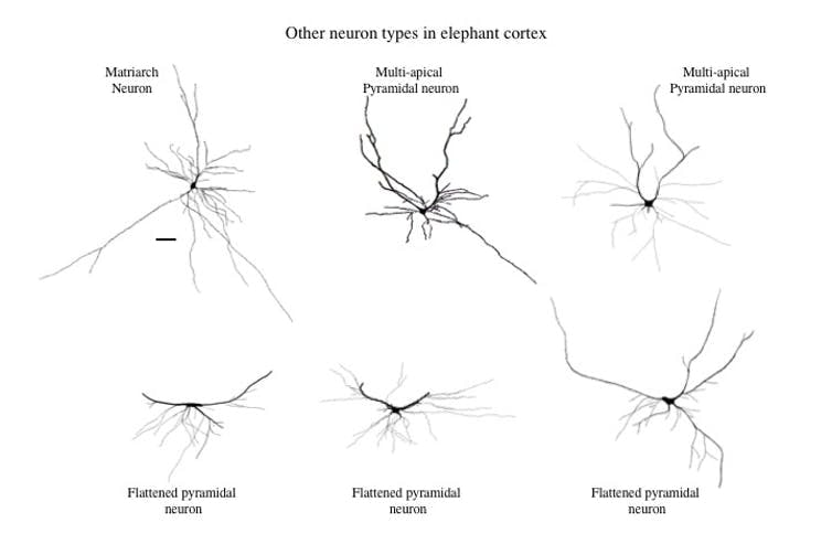 A variety of cortical neurons in the elephant that are seldom if ever observed in the cortex of other mammals. Note that all of them are characterized by dendrites that spread out from the cell body laterally, sometimes over considerable distances. The scale bar = 100 micrometers (or 0.004 of an inch).