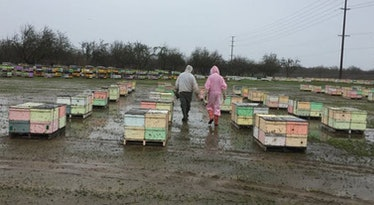 Hundred of hives in holding yard in the Central Valley in January waiting to go into almond orchards.