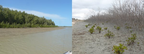 mangroves Flinders River
