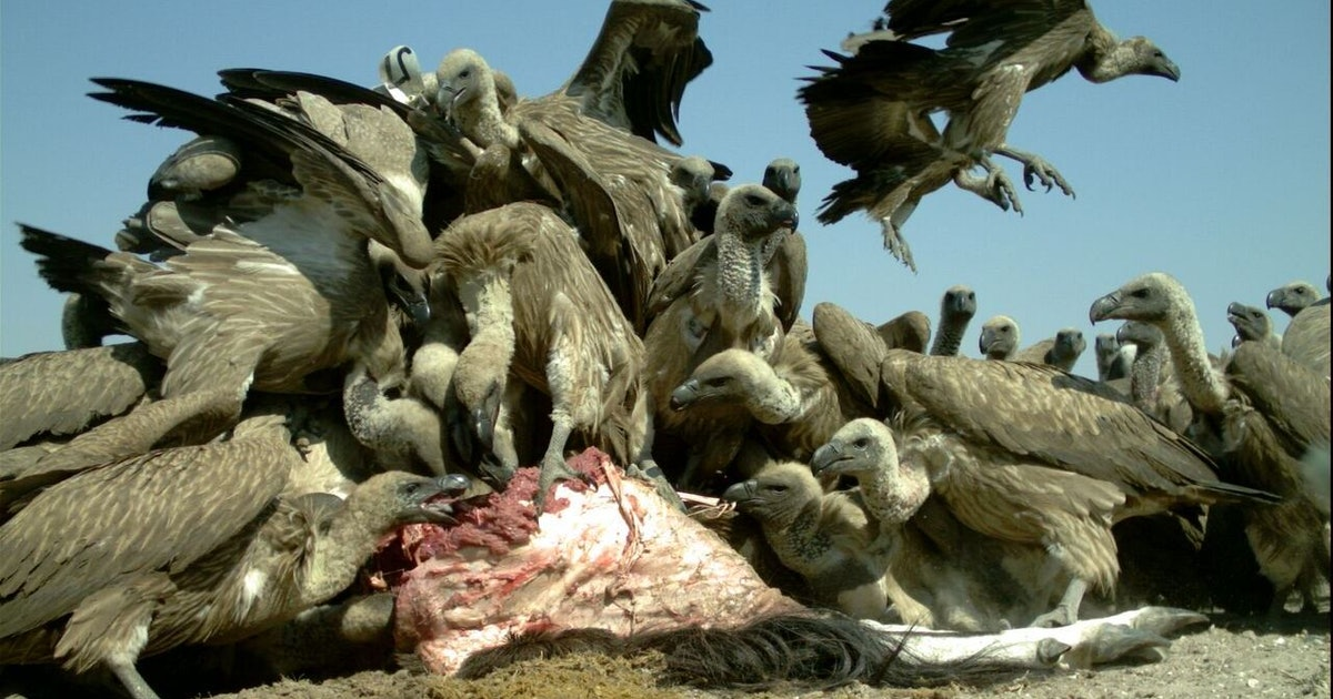 Study Shows Lead From Hunters in African White-Backed Vultures' Blood