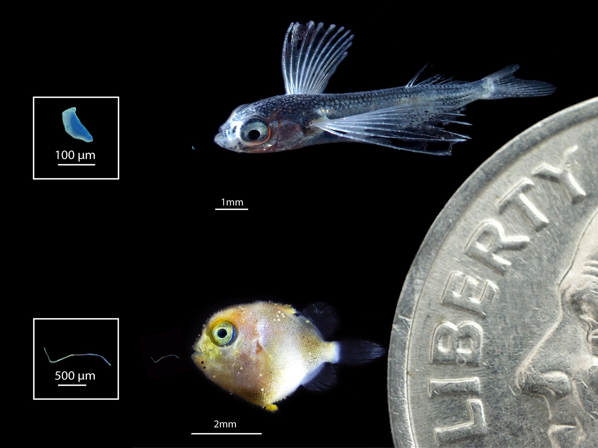 two tiny fish shown next to a dime for scale with pieces of plastic