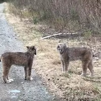 What Is a Lynx? These Viral Yelling Cats Have an Unexpectedly Adorable Meow