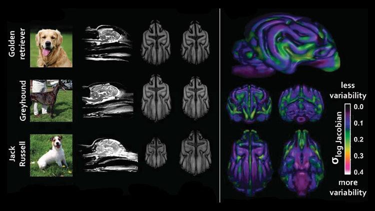 dog brain scans
