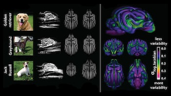 dog brain scans