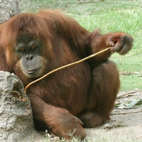 Human Evolution: Video Shows Orangutans Innovating Tools in Real Time