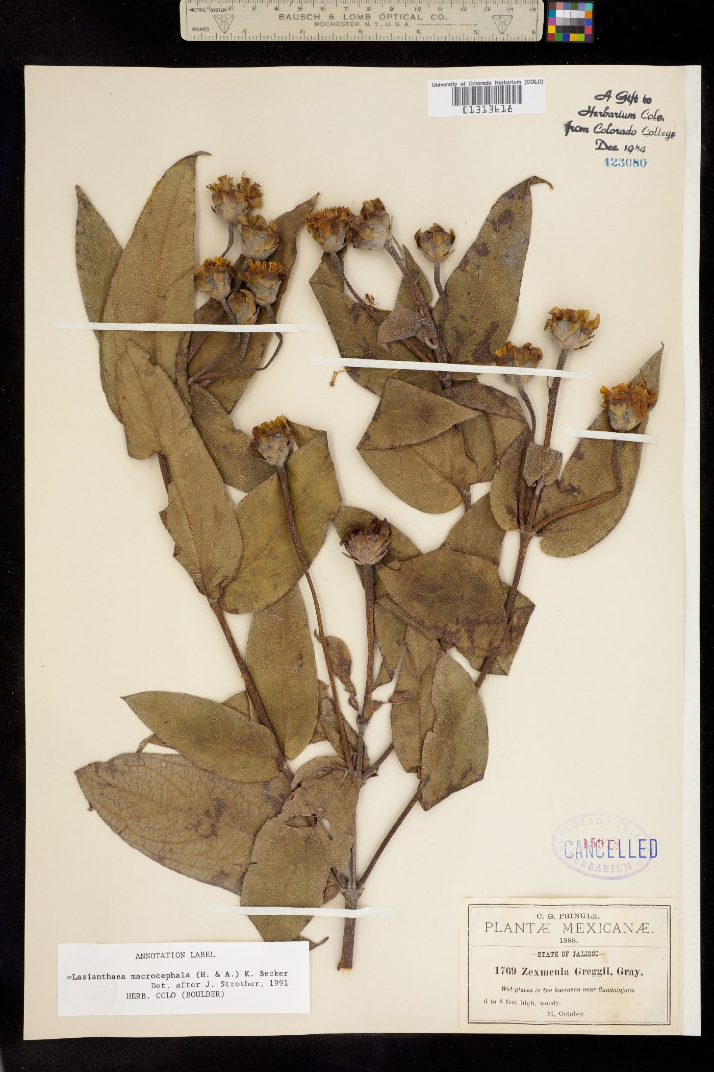 Today known as the Lasianthaea macrocephala, this flower was discovered by Ynés Mexía.