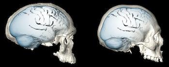 homo sapien brain
