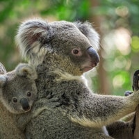 A creepy virus is forcing koalas to evolve before our eyes
