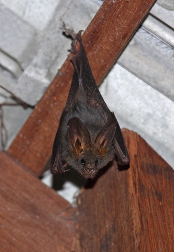 vampire bat hanging upside down